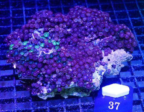 Mixed Zoanthid Colony WYSIWYG C37