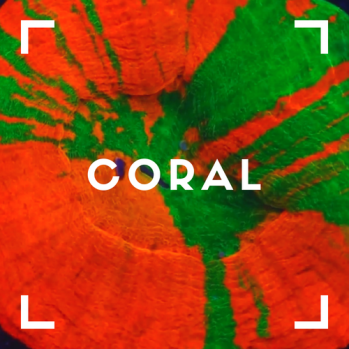 Z_coral_button