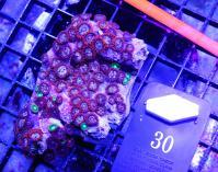 C_coral_30.JPG